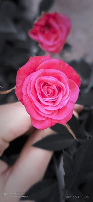Thumbnail of 🌹 rose