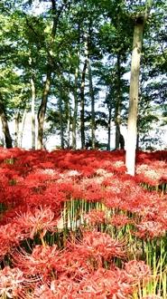 Thumbnail of Japanese cluster amaryllis(彼岸花)