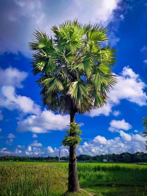 Thumbnail of Palm Tree